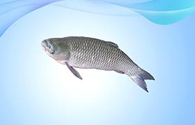 草鱼【鲩鱼】